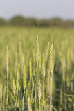 Green barley growing in a field Stock Photography