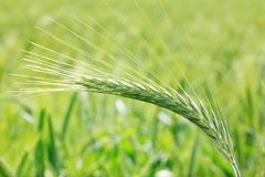 Green Barley Spike Stock Photo