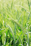 Green Barley Spike Stock Images