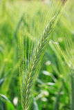 Green Barley Spike Royalty Free Stock Photo