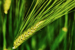 Green barley spike Stock Photography