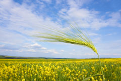 Green barley spikelet over field Stock Photography