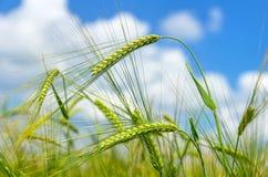 Green barley Stock Images
