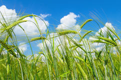 Green barley Royalty Free Stock Photography