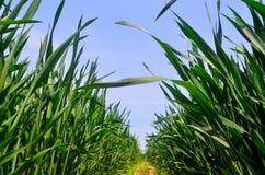 Green Barley Royalty Free Stock Photo