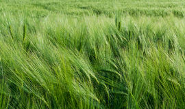 Close-up of green barley field in the wind. Hordeum vulgare. Wavy cornfield with lush cereal spikes and thick awns. Beautiful spring background. Idea of royalty free stock images