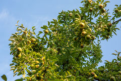 Green Bartlett pears or Williams pears growing in pear tree Royalty Free Stock Photo