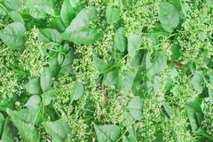 Green basella alba tree with white flower blooming in organic vegetable farm on background ceylon spinach, indian spinach, stock photos