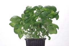 green basil stock photo