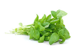 Green basil. On the white background Royalty Free Stock Photography