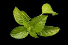 Green basil Royalty Free Stock Images