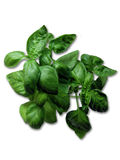 Green basil. Fresh green basil on a white background Royalty Free Stock Images