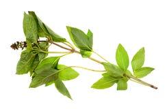 A green basil Stock Image
