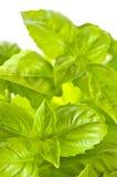 Green basil close up Stock Photos