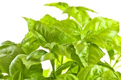 Green basil close up Stock Photography