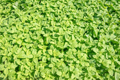 Green basil field background Stock Images