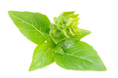 Green Basil with Flower Buds Stock Images