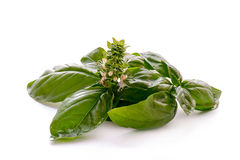 Green basil with flower Stock Photos