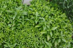 Green basil in the garden. Backgound Royalty Free Stock Photos