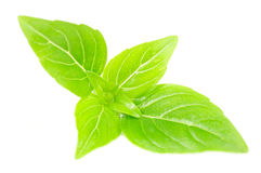 Green Basil Isolated on White Background Stock Images