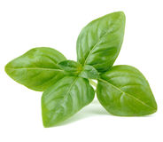 Green Basil Isolated on White Background Royalty Free Stock Images