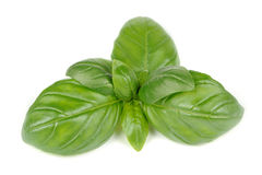 Green Basil Isolated on White Background Stock Image
