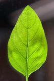 Green basil leaf Royalty Free Stock Photography