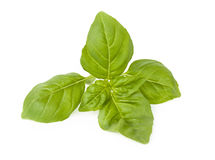 Green basil leaves. Isolated on white background Stock Photography