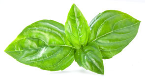 Green basil leaves isolated on a white. Stock Images