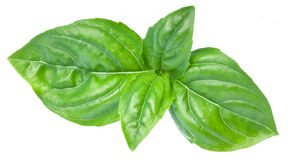 Green basil leaves isolated on a white. Stock Photos