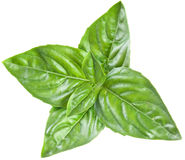 Green basil leaves isolated on a white. Royalty Free Stock Images