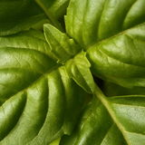 Green basil leaves macro Stock Image