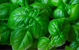 Green basil leaves. macro. Green basil leaves ready to taste the tasty kitchen recipes Royalty Free Stock Image