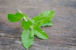Green basil leaves placed on old wood. As herbal medicine Stock Photo