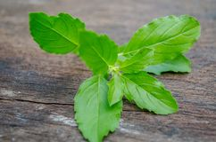 Green basil leaves placed on old wood. As herbal medicine Royalty Free Stock Photography