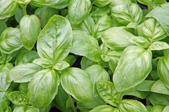 Green basil leaves ready to taste the tasty recipes Stock Photography