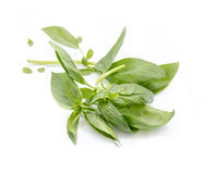 Green basil leaves. On a white background Royalty Free Stock Photos