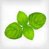 Green basil leaves Royalty Free Stock Images