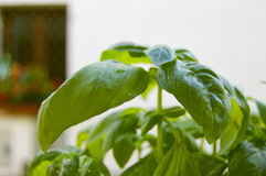 Green basil plant Royalty Free Stock Images