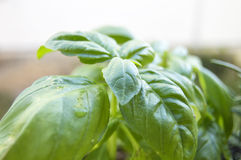Green basil plant Royalty Free Stock Photos