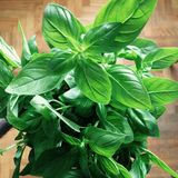 Green basil plant, Ocimum basilicum Stock Photography