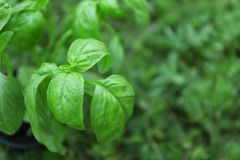 Green basil plant outdoors. Green basil plant out doors Stock Images