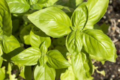Green basil plant Royalty Free Stock Photography