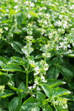 Green basil plants Stock Images