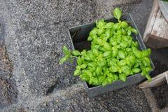 Green basil in a pot Stock Photo