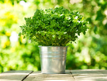 Green basil in a pot Stock Images