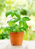 Green basil in a pot Royalty Free Stock Photos