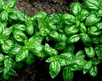 Green basil sprouted in the garden Stock Photo