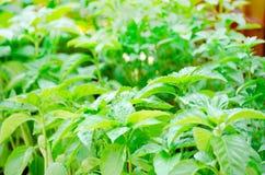 Green basil Stock Photos