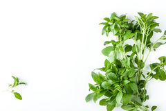 Green basil on the white background horizontal Royalty Free Stock Images